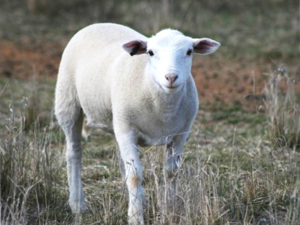 Why You Should You Buy Spring Lamb In Season
